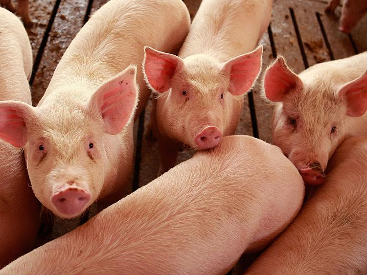 March Hogs and Pigs Report Released-media-1
