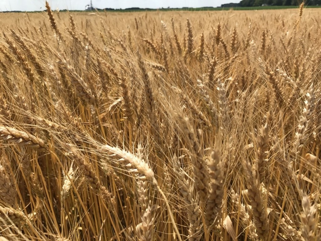 Indiana Wheat Harvest About to Begin-media-1