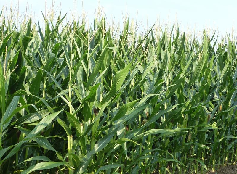 Rapid Corn Progress, But Rapid Disease Development Too-media-1