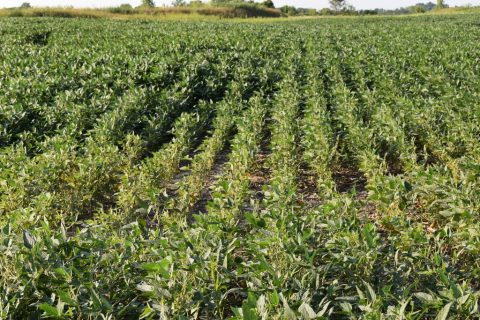 Check for Spider Mites in those Dry Indiana Bean Fields-media-3