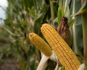 Running out of Time to Cut Corn Yields-media-1