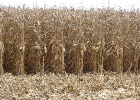 Gray Leaf Spot May Drop Some Corn Yields-media-2