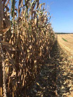 Heavy Rain Hits Fields Ready for Harvest-media-2
