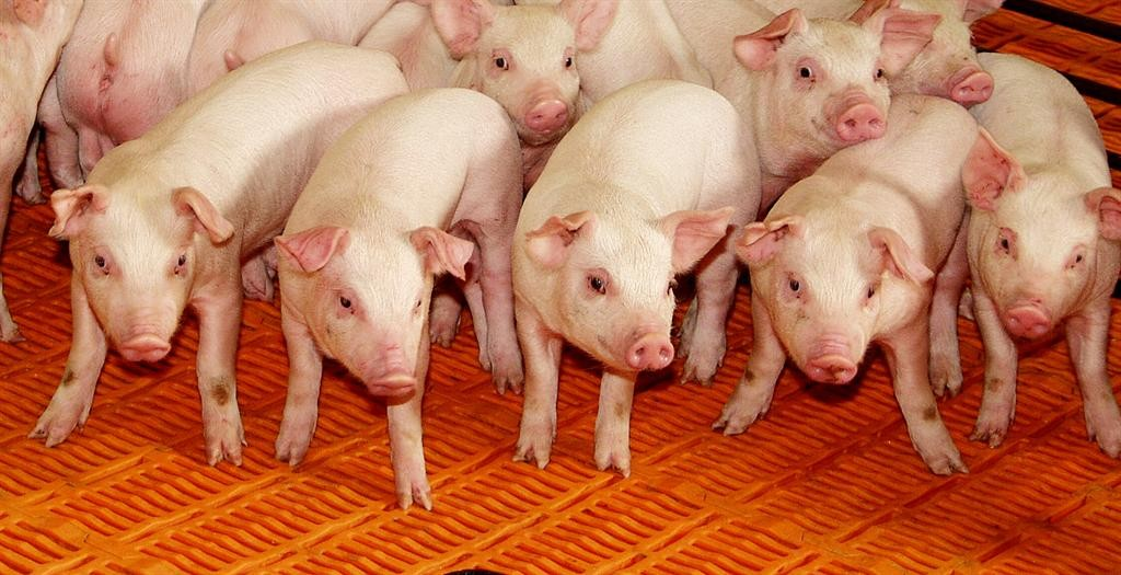 Pork Producers Concerned about Flow of Exports to Mexico-media-1
