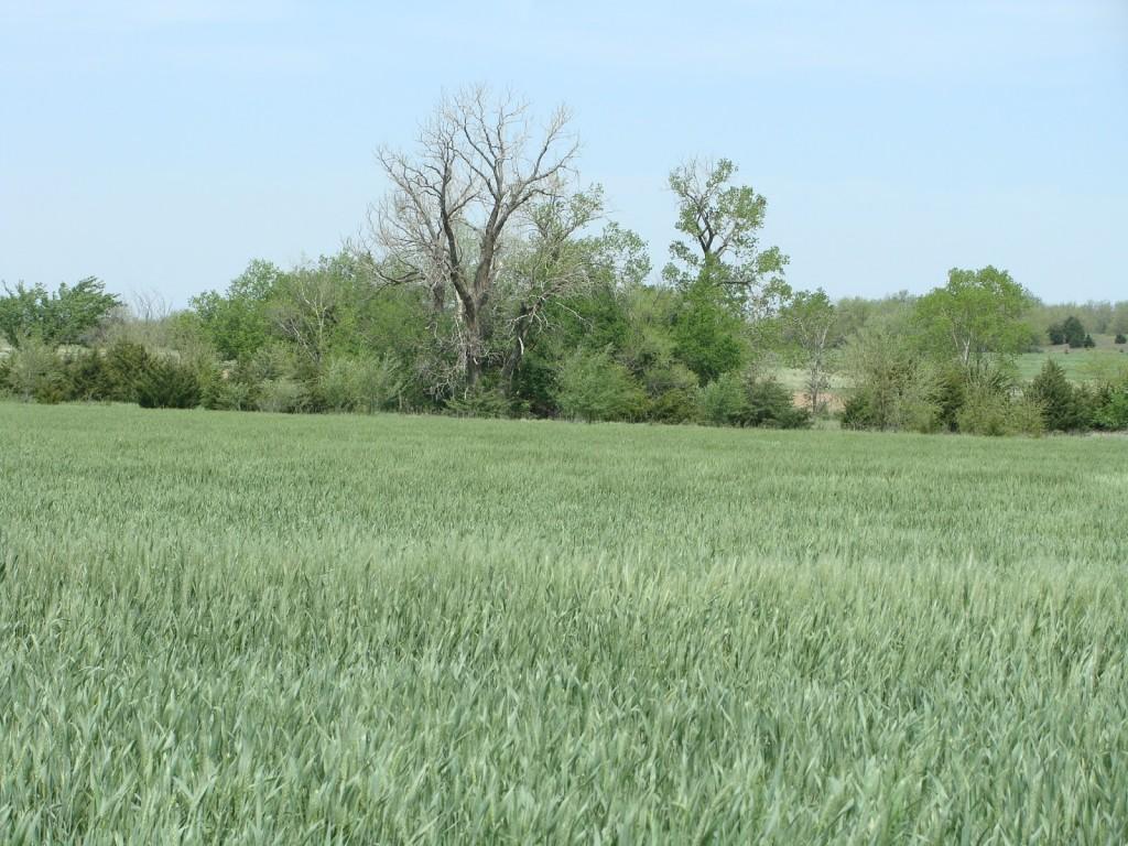 Indiana Wheat Crop Doing Well-media-1