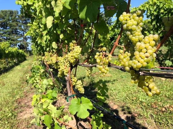 Riesling vineyard in northwest Michigan on Sept. 24, 2019. Photo by Thomas Todaro, MSU Extension.