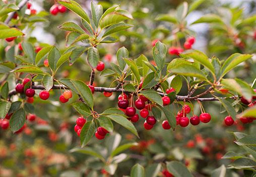 Tart cherries. Photo: Michigan Farm Bureau