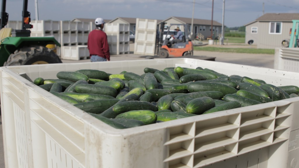Cumbers from Sodus, MI | Photo: Michigan Farm Bureau