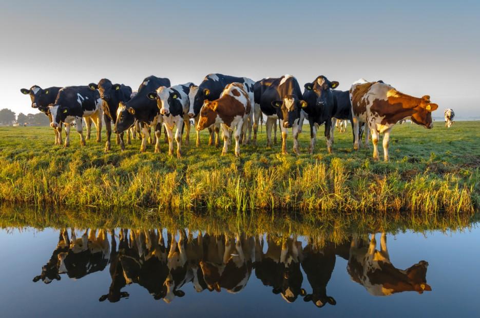 Cows at Water