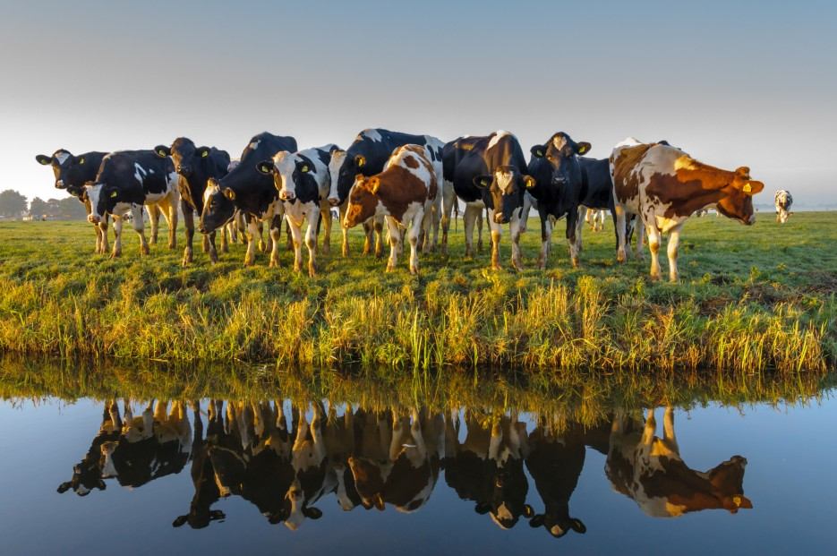 cows water land farm dairy