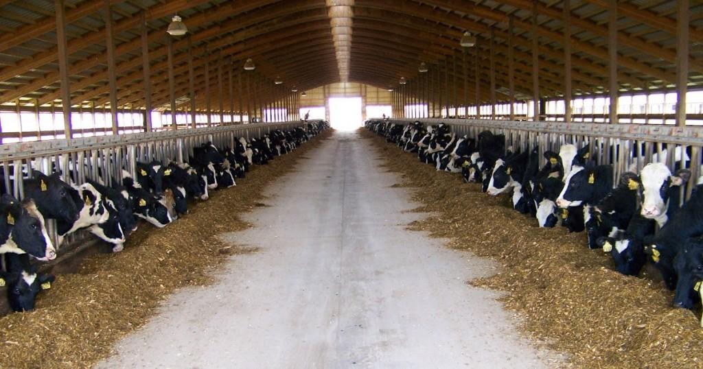 dairy, barn, cow, cafo