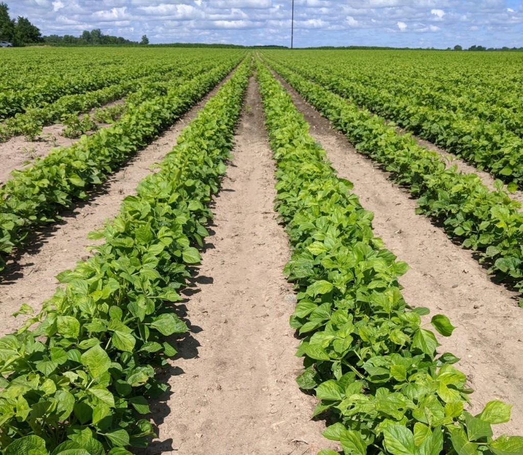 A field of Adzuki beans in Alma Michigan. Photo: Wilhelm W. Kohl, Facebook
