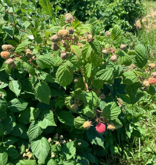 Summer raspberries are beginning to ripen and become vulnerable to infestation by SWD in southern Michigan. Photo by Julianna Wilson, MSU Entomology.