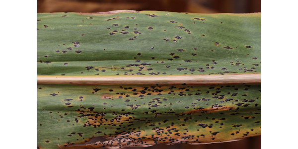 Tar spot is caused by the fungus Phyllachora maydis and can be identified by the raised, black spots that appear on corn leaves and husks.(Photo by Martin Chilvers, MSU)