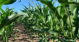 corn, field, summer, weather