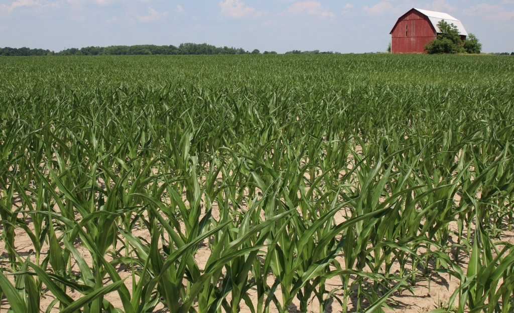 Later planted crops with shorter root systems and crops on lighter soils are showing signs of stress. Corn is beginning to show leaf curling. (Photo credit, Michigan Farm News)
