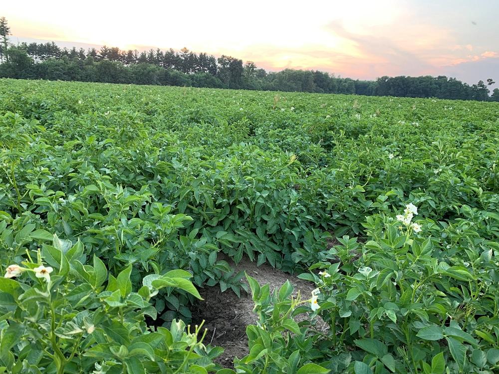 Potato field near Three Rivers, Mich. Photo: Ashley Davenport