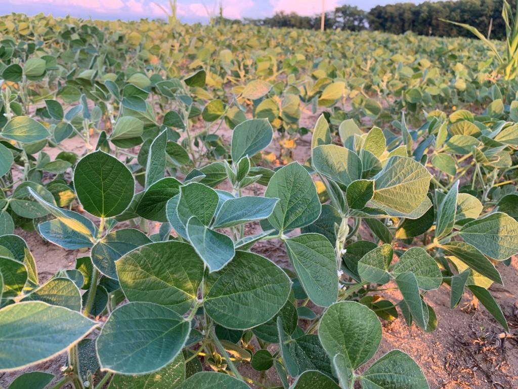 soybean field bloom