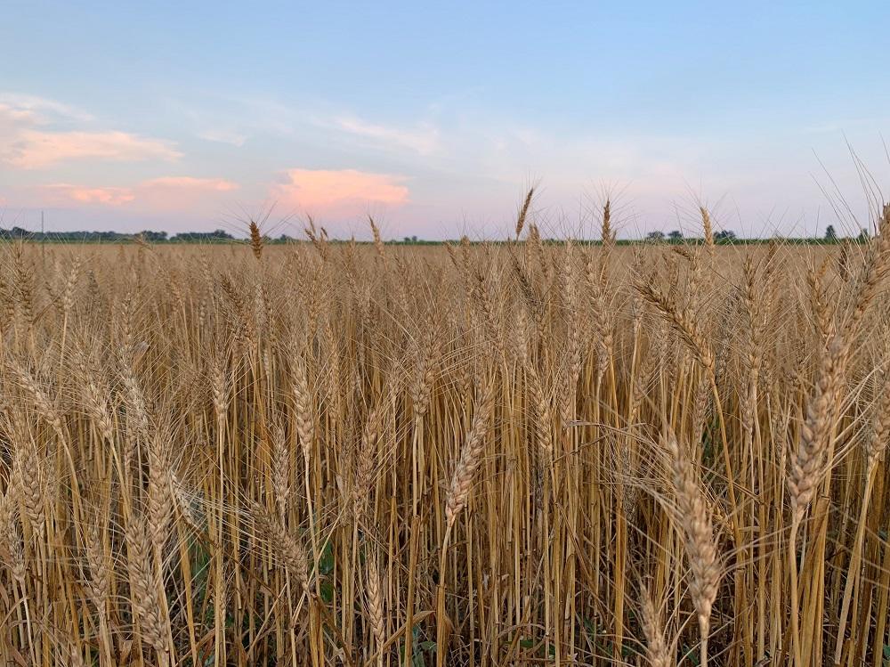 Wheat field near Mendon, Mich. Photo: Ashley Davenport